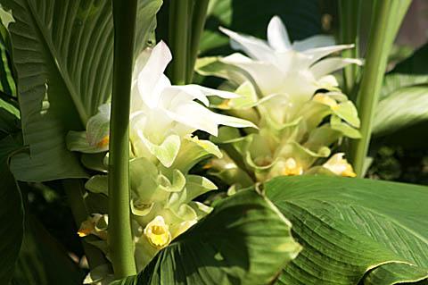 ウコンの花と、トケイソウの実_f0030085_17464591.jpg