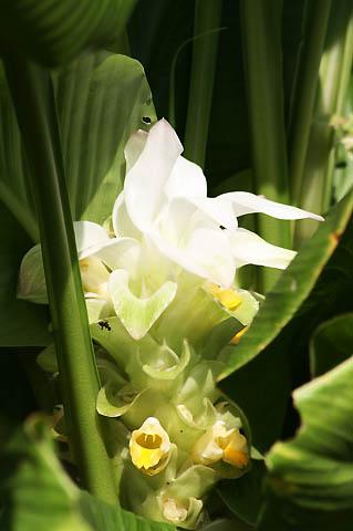 ウコンの花と、トケイソウの実_f0030085_1747280.jpg