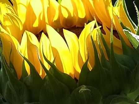 正午の向日葵♪_b0105897_15261765.jpg
