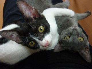 猫のお友だち 銀くんこちびちゃん編。_a0143140_21195141.jpg