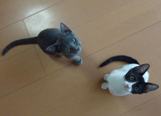 猫のお友だち 銀くんこちびちゃん編。_a0143140_21203062.jpg
