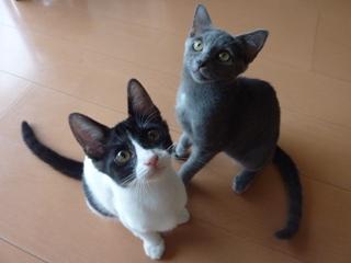 猫のお友だち 銀くんこちびちゃん編。_a0143140_21213672.jpg