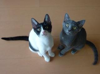 猫のお友だち 銀くんこちびちゃん編。_a0143140_21218100.jpg