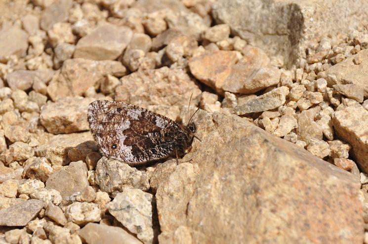 2010年想い出の蝶ランキング4位タカネヒカゲ_e0194952_223793.jpg