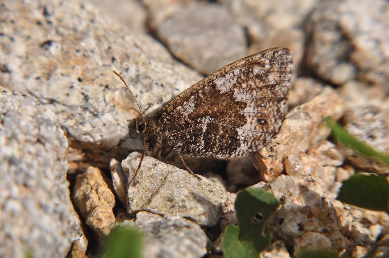 2010年想い出の蝶ランキング4位タカネヒカゲ_e0194952_7481816.jpg