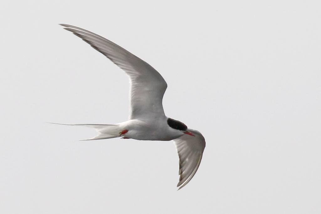 珍鳥;キョクアジサシ(飛翔)_b0024798_433275.jpg