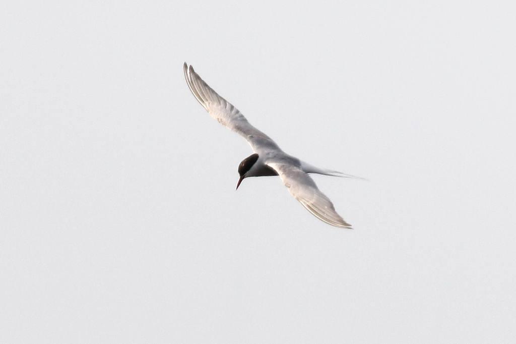 珍鳥;キョクアジサシ(飛翔)_b0024798_4341036.jpg