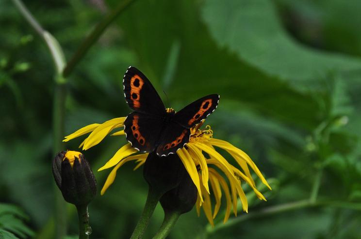 2010年想い出の蝶ランキング7位クモマベニヒカゲ_e0194952_20592029.jpg