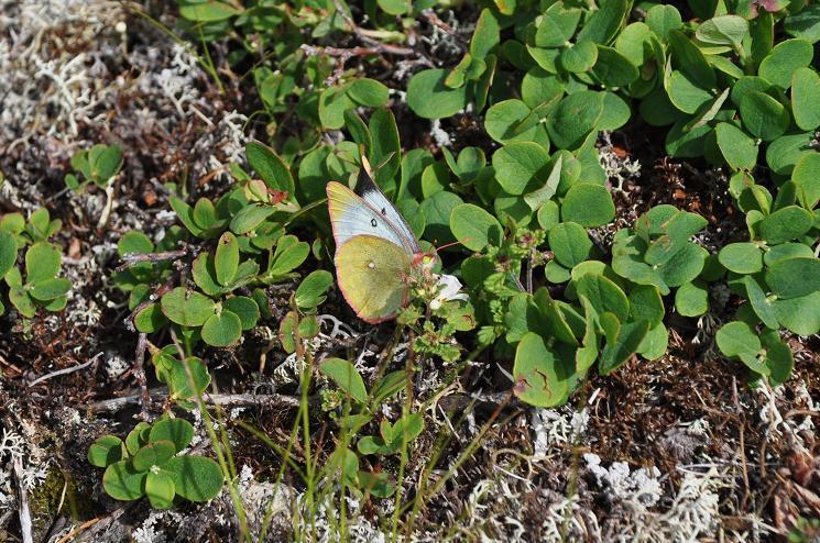 2010年想い出の蝶ランキング8位ミヤマモンキチョウ_e0194952_733734.jpg
