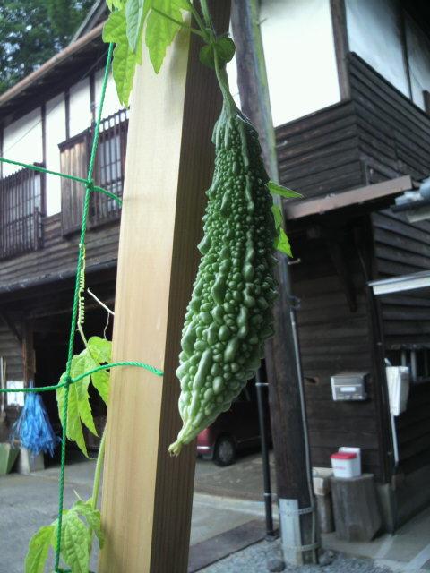 緑のカーテン_c0124828_017173.jpg