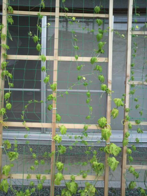 緑のカーテン_c0124828_018845.jpg