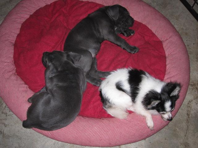 CaneCorso&Chihuahua_c0151934_204335100.jpg