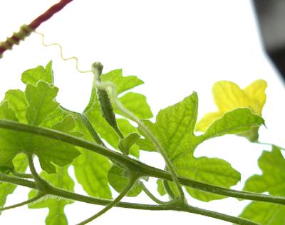 ゴーヤの雌花が急に増えだした_f0108133_1654094.jpg