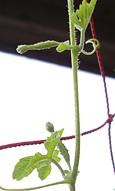 ゴーヤの雌花が急に増えだした_f0108133_17332766.jpg