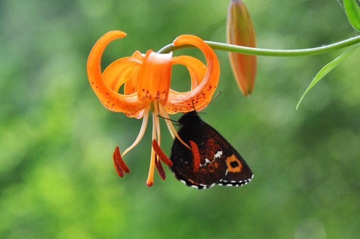 2010年想い出の蝶ランキング7位クモマベニヒカゲ_e0194952_20324360.jpg