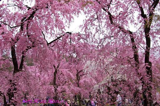 植物園の桜林_a0164068_16523712.jpg