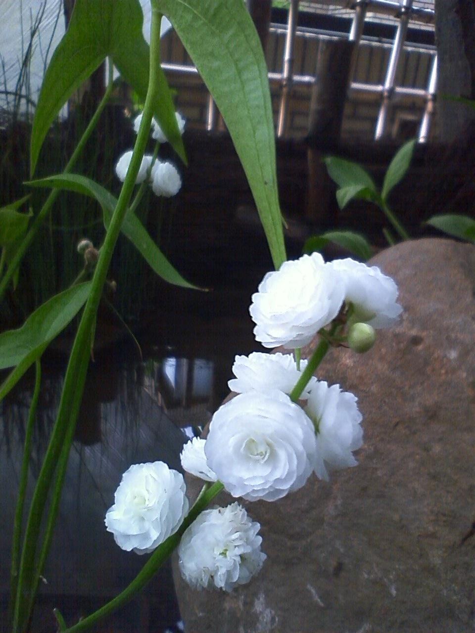 オモダカの花_c0137869_8105166.jpg
