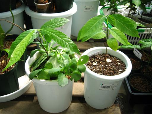 スイギュウノチチ(Uvaria rufa)とシャカトウ(Annona squamosa)