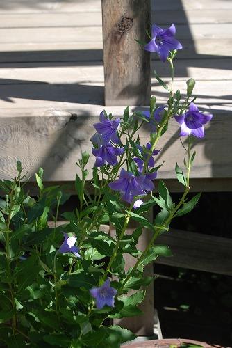 長ーく、咲き続ける花…。_c0124100_22402188.jpg