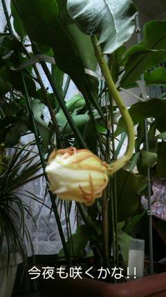 月下美人~こんな風に咲きます!!_d0051146_8285974.jpg