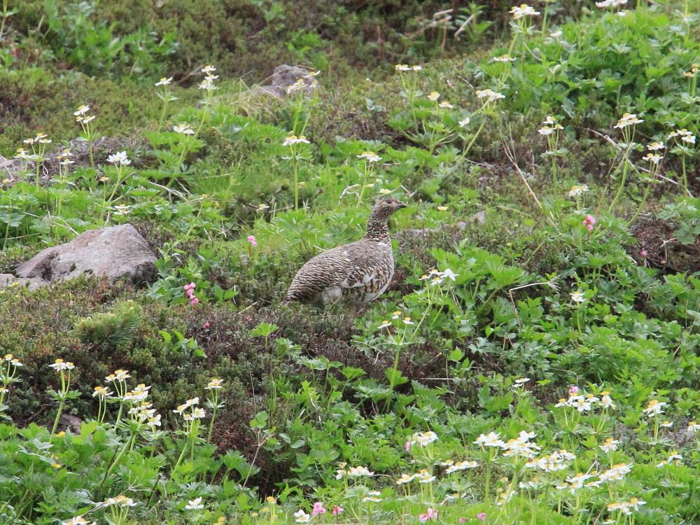 ライチョウ  雛を連れた母鳥。   2010.7.19乗鞍岳_a0146869_6264277.jpg