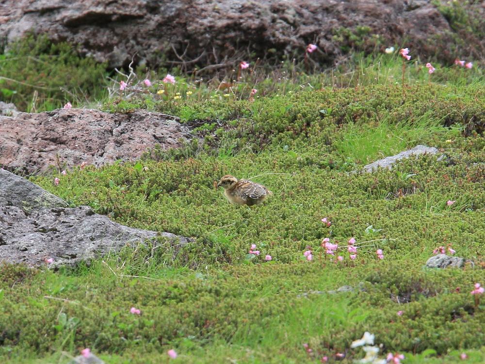 ライチョウ  雛を連れた母鳥。   2010.7.19乗鞍岳_a0146869_631116.jpg