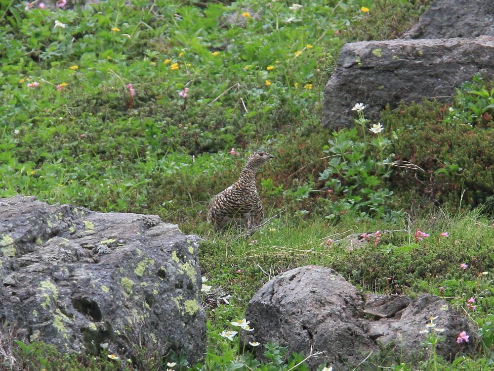 ライチョウ  雛を連れた母鳥。   2010.7.19乗鞍岳_a0146869_6394444.jpg