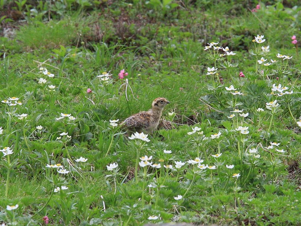 ライチョウ  雛を連れた母鳥。   2010.7.19乗鞍岳_a0146869_640196.jpg