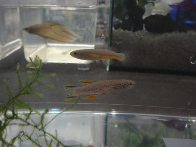 熱帯魚・海水魚・サンゴ・金魚・水草_f0189122_1326645.jpg
