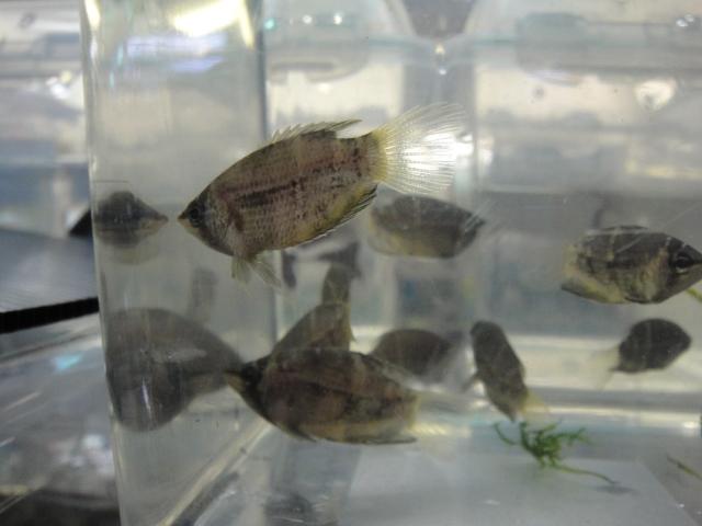 熱帯魚・海水魚・サンゴ・金魚・水草_f0189122_13272068.jpg