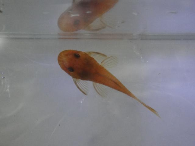 熱帯魚・海水魚・サンゴ・金魚・水草_f0189122_13281582.jpg