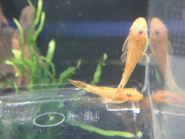 熱帯魚・海水魚・サンゴ・金魚・水草_f0189122_132847.jpg