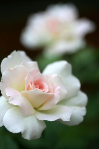 ◆夏のバラは・・・_e0154682_022427.jpg