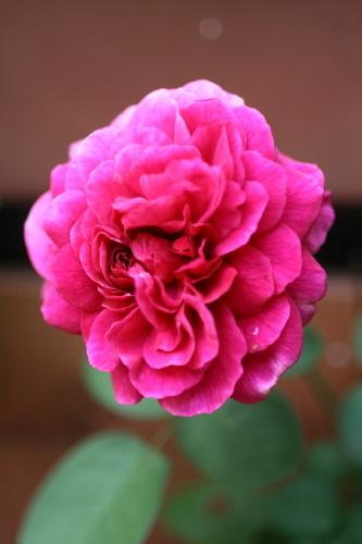 ◆夏のバラは・・・_e0154682_03323.jpg