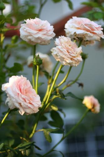 ◆夏のバラは・・・_e0154682_04986.jpg