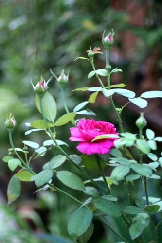 ◆夏のバラは・・・_e0154682_071588.jpg