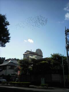 青空に飛翔する鳩の群_c0099300_17412521.jpg