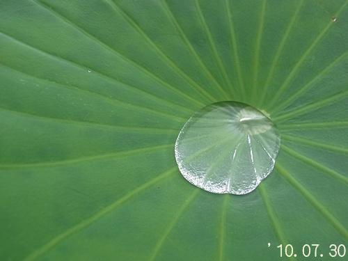 ハスの葉2