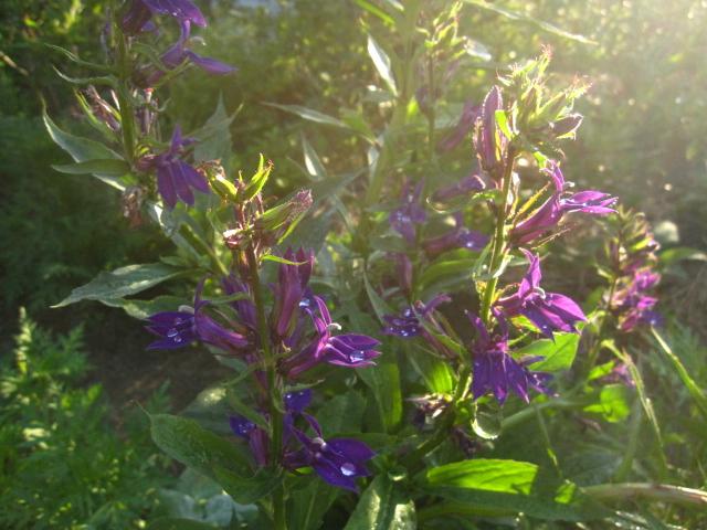 8月の紫の花_e0181373_20541915.jpg
