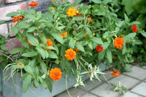 ◆暑さに強い花は_e0154682_045577.jpg