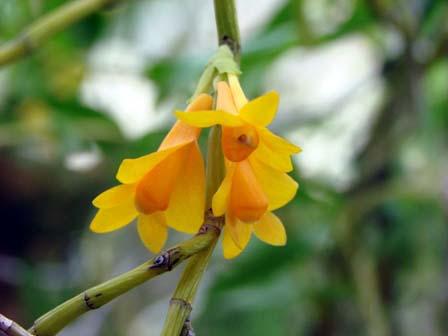 Den.subclausum f. pandanicola_d0007501_1792744.jpg