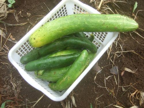 暑くても野菜は育つ.....草取りは大変です。_b0137932_18202469.jpg