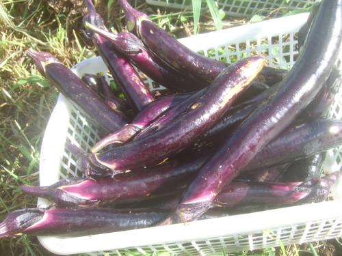 暑くても野菜は育つ.....草取りは大変です。_b0137932_1820428.jpg