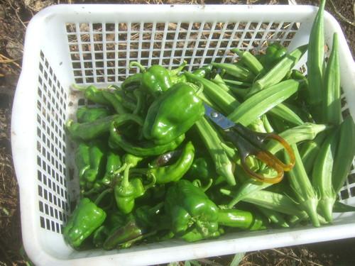 暑くても野菜は育つ.....草取りは大変です。_b0137932_18205913.jpg