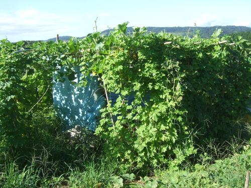 暑くても野菜は育つ.....草取りは大変です。_b0137932_18224222.jpg