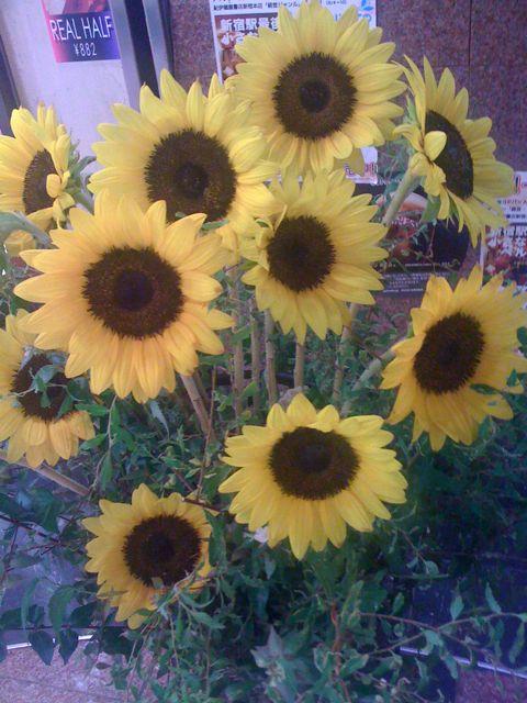 夏といえばやっぱりひまわり♪花とベルクのあいだで_c0069047_11413657.jpg