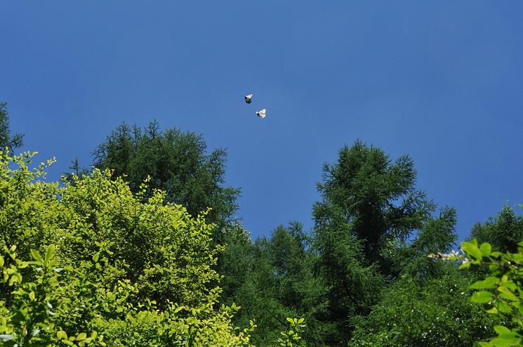2010年想い出の蝶ランキング5位ミヤマシロチョウ_e0194952_21162036.jpg