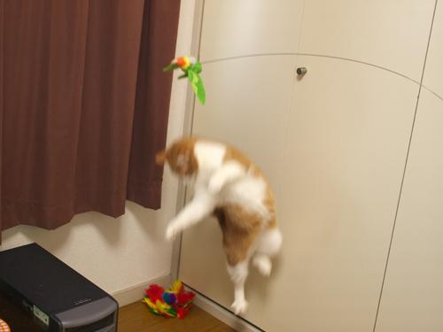 【紅姫】 鳥玩具遊び01:ハイジャンプ_a0066779_23191221.jpg