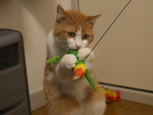 【紅姫】 鳥玩具遊び01:ハイジャンプ_a0066779_23251311.jpg