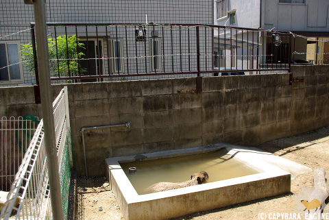 改装・岡山カピバラ展示場_f0138828_15375100.jpg